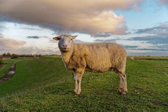 Sheep standing on a dyke, East Frisia, Lower Saxony, Germany