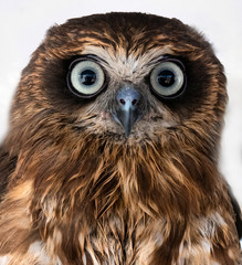 Portrait of a Boobook owl, Australia