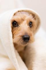 毛布に包まるノーフォークテリア犬