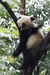 Fotobehang Panda Funny Pose of Playful Panda Cub on the Tree, Chengdu, China