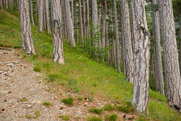 Keuken foto achterwand Bos in mist spruce grows on the mountain. beautiful forest