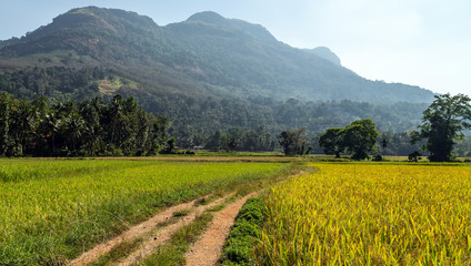 Rice Paddy Fields green trees forest