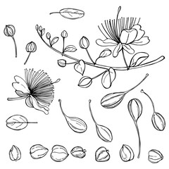 Hand drawn caper plant  with flowers. Edible fruits and buds of capers. Vector sketch illustration.