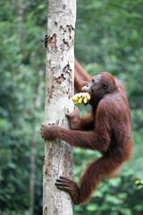 Orang Utan mit Bananen