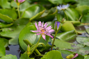 Lotus flower in a pond, with many bees and wasps pollinating