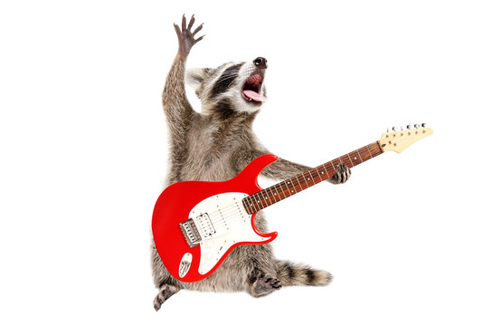 Funny singing raccoon with electric guitar isolated on white background