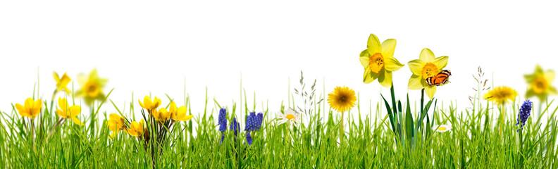 Photo sur cadre textile Narcisse freigestellte frühlingswiese auf weiß