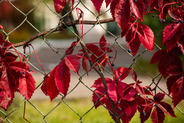 Background with red grapes on a metal mesh fence