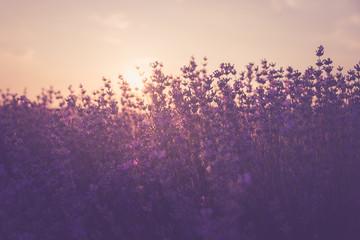 Aluminium Prints Light pink Sunset over lavender field in Bulgaria. Summer nature background.