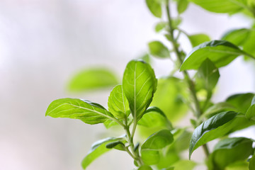 Basil plant with green leaves isolated