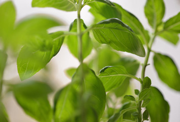 Basil plant with a selective focus, green leaves