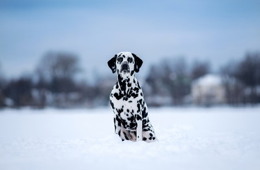 The dog breed Dalmatians in winter, the snow sits and looks beautiful