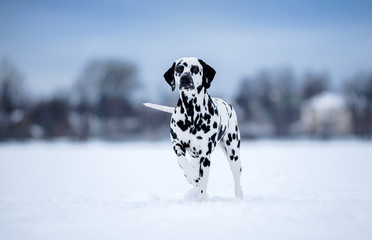 Dog, breed Dalmatian winter in snow proudly stands and looks