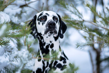 Dog breed Dalmatian winter in the snow portrait close-up on the background of snow-covered Christmas trees