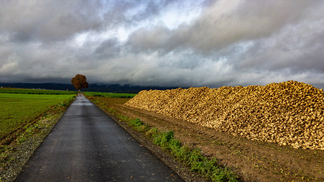 Zuckerrüben Herbst