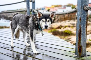 Husky in Peniche