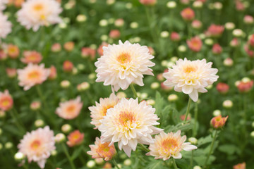 Beautiful pink chrysanthemum blossoms in the garden