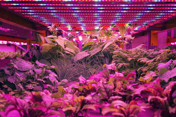 Various herbs and vegetables grow under special LED lights belts in aquaponics system combining fish aquaculture with hydroponics, cultivating plants in water under artificial lighting, organic food c Wall mural