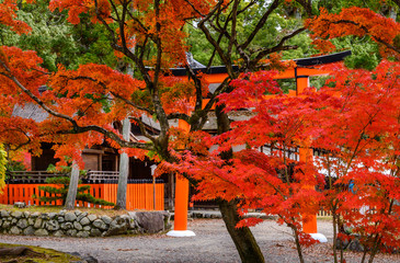 Wall Murals Cuban Red Foliage landscape in Kyoto, Japan.