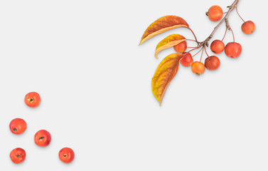 Autumn composition leaves fruits and branch of malus floribunda on white light grey uniform background top view flat lay copyspace