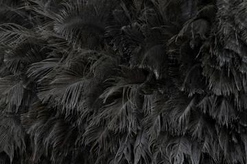 Poster Struisvogel Ostrich feathers skin for pattern