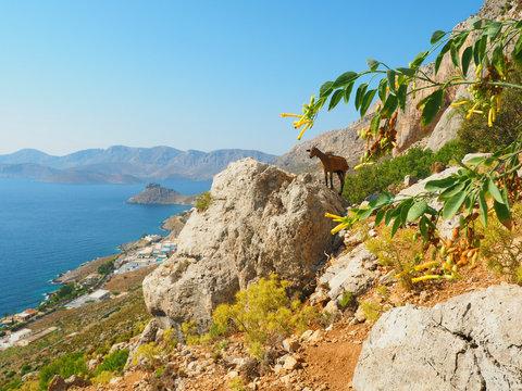 Kalymnos oberhalb von Massouri - Bergziege