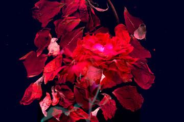 妖艶なバラの花びらのイメージ 本能 色気ある花びらがパンクな印象のイメージ