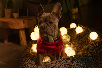 Türaufkleber Französisch bulldog Cute french bulldog wearing a christmas sweater with christmas lights in background