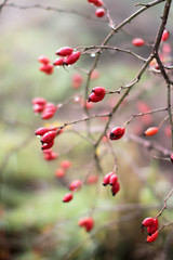 beautiful nature with dewy red berries, hawthorn fruits, blurry background
