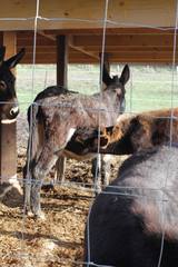 group of black donkeys with a mother and baby suckling