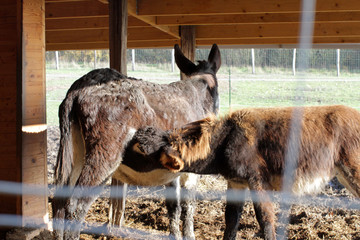 couple of black donkeys with a baby suckling at stable