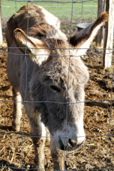 portrait of grey African male donkey with winter fluffy hair