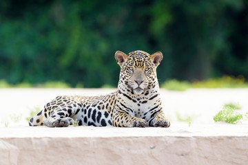 Jaguar (Panthera onca) lying down and looking at camera on sandy beach, riverbank at sunset, Pantanal, Mato Grosso, Brazil Wall mural