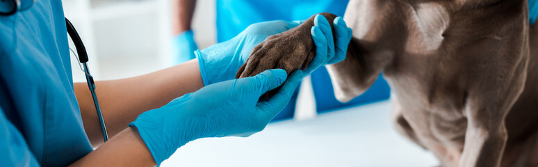 cropped view of veterinarian examining paw of grey dog near colleague, panoramic shot