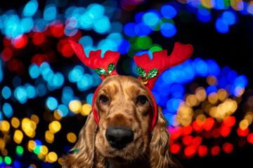 Cocker Spaniel Christmas dressed reindeer on shiny light background