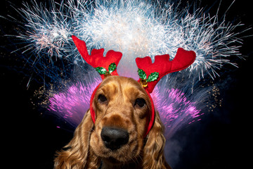 Cocker Spaniel Christmas dressed new years eve background