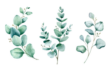 Watercolor hand painted botanical illustration. The branches and leaves of blue eucalyptus .Tropical elements isolated on white background for design in greenery .style.