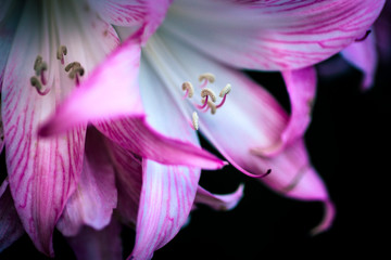 Detail of a garden flower, Lilium spp.