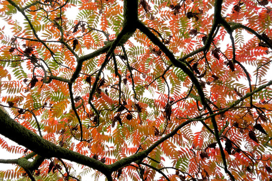 Germany, Saxony, Directly below view of†staghorn†sumac†(Rhus†typhina)†tree canopy in autumn