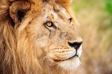 Closeup shot of a lion in Serengeti, Tanzania with a blurred background