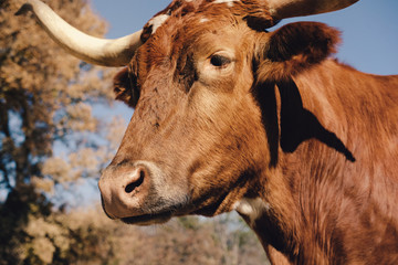 Wall Mural - Texas Longhorn cow closeup during fall season on farm.