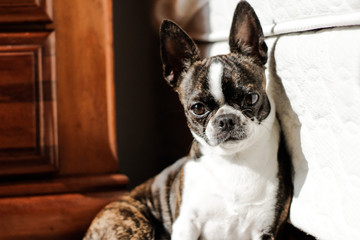 Adult french bulldog learning on wall
