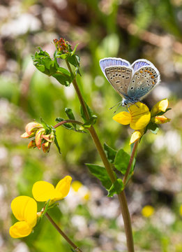Common blue (polyommatus icarus) butterfly on a (lotus corniculatus) blossom with blurred bokeh background; pesticide free environmental protection concept;