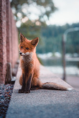 Short-coated brown fox