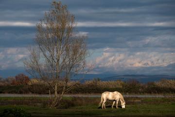 Camargue horse near a big tree
