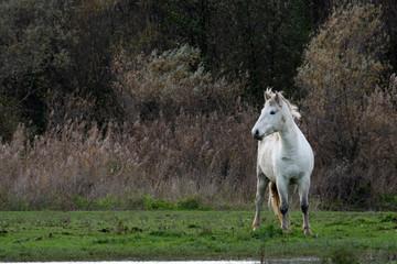 Wild camargue horse staring