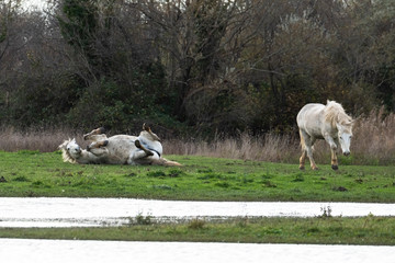 Wild camargue horses in a meadow