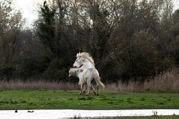 Wild camargue horses fighting