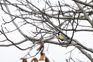 A titmouse hiding among branches
