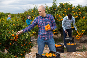 Workers picking mandarins in boxes on farm